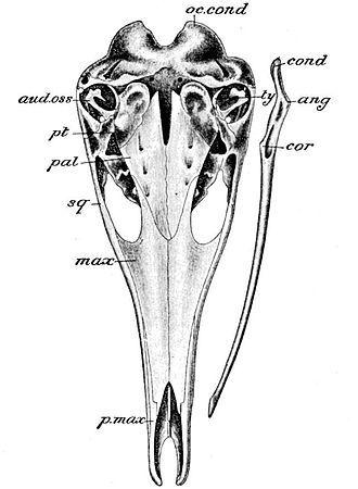 Echidna Skull And Shoulder Girdle Illustrations Comparative Anatomy