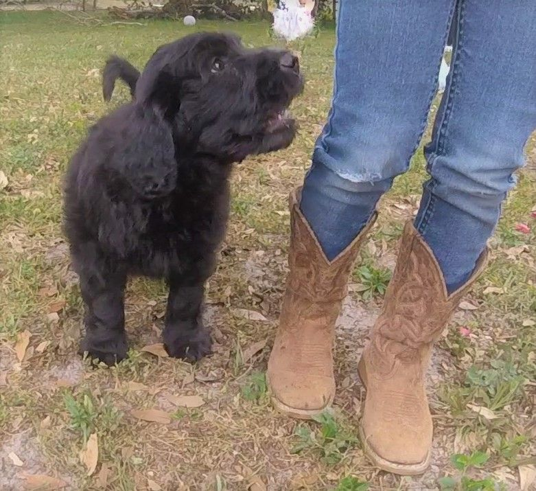 Double Doodle Puppy For Sale In Sarasota Fl Adn 71915 On