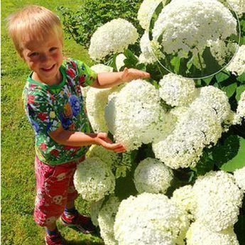 hortensien richtig schneiden garten pinterest schneeball hortensie und pflanzen. Black Bedroom Furniture Sets. Home Design Ideas