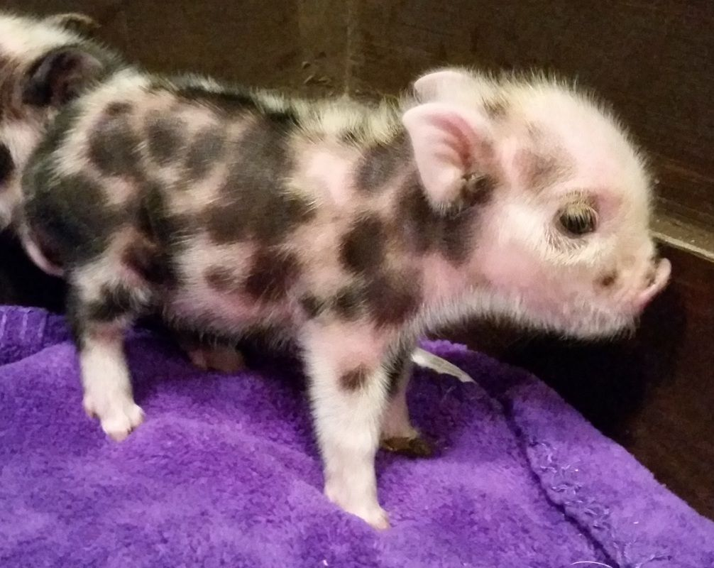 Dedicated to breeding healthy and high quality small indoor pet pigs dedicated to breeding healthy and high quality small indoor pet pigs mini pigs juliana pigs micro pigs jpar registered pigs teacup pigs toy p voltagebd Choice Image