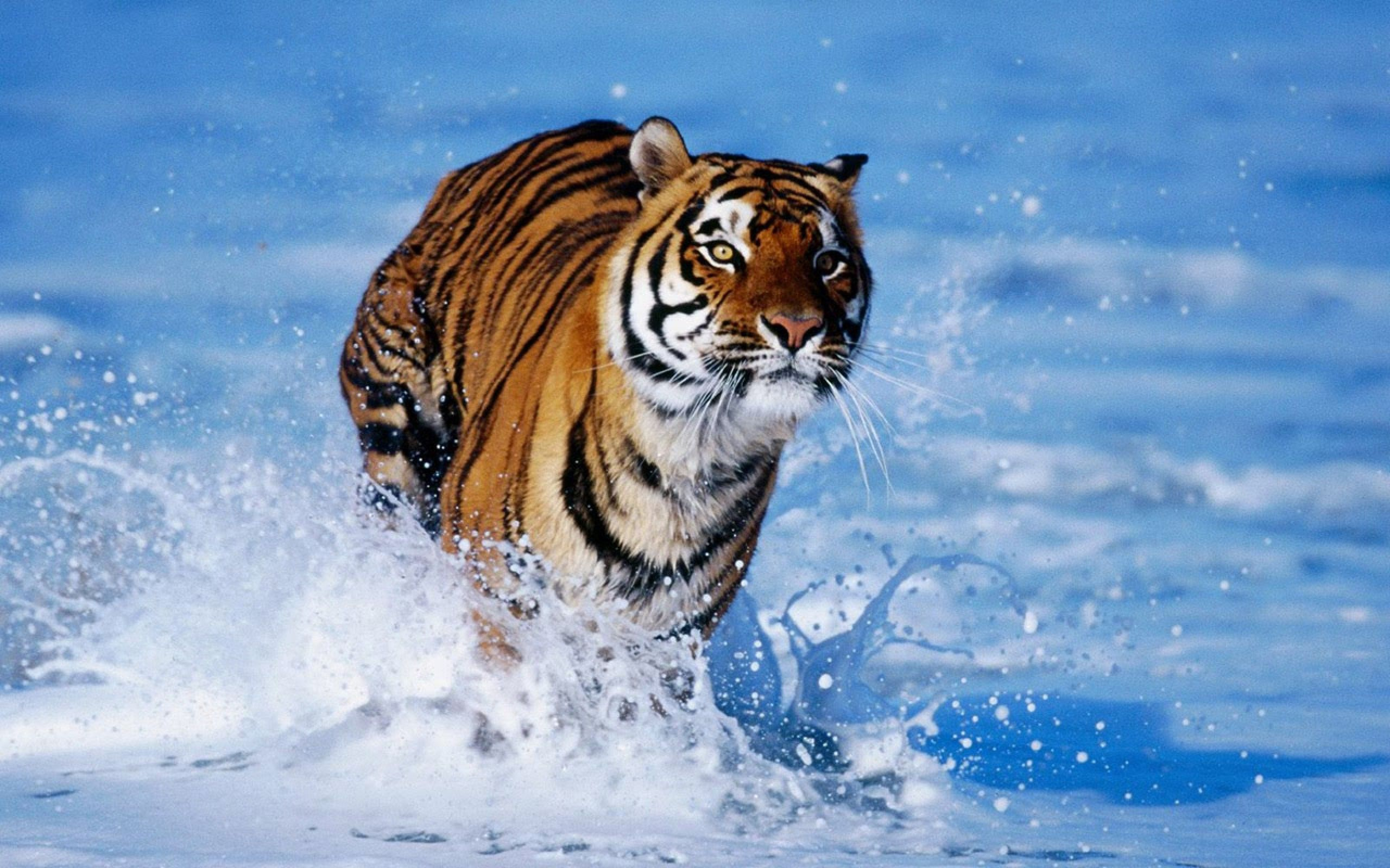 Bengal Tiger Hd Wallpaper Animal Backgrounds Wallpapers