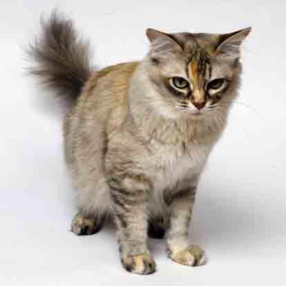 Asian Semi-longhair Cat | Asian, Cat and Cat cat