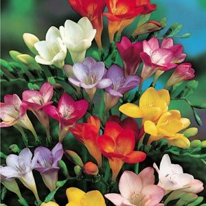 Freesia Mixed Single Flowering 1483 P Jpg 300 300 Pixels Freesia Flowers Fragrant Flowers Amazing Flowers