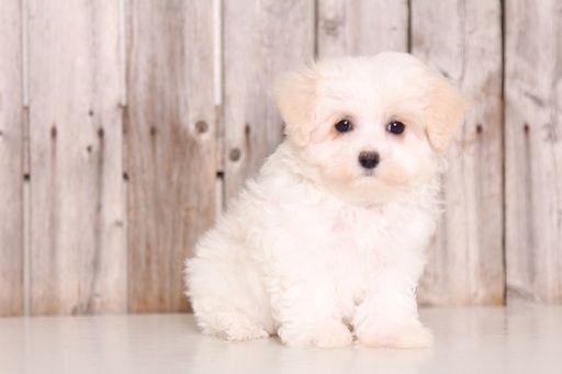 Maltipoo Puppy For Sale In Mount Vernon Oh Adn 45898 On Puppyfinder Com Gender Female Age 9 Weeks Maltese Puppies For Sale Puppies For Sale Maltese Puppy
