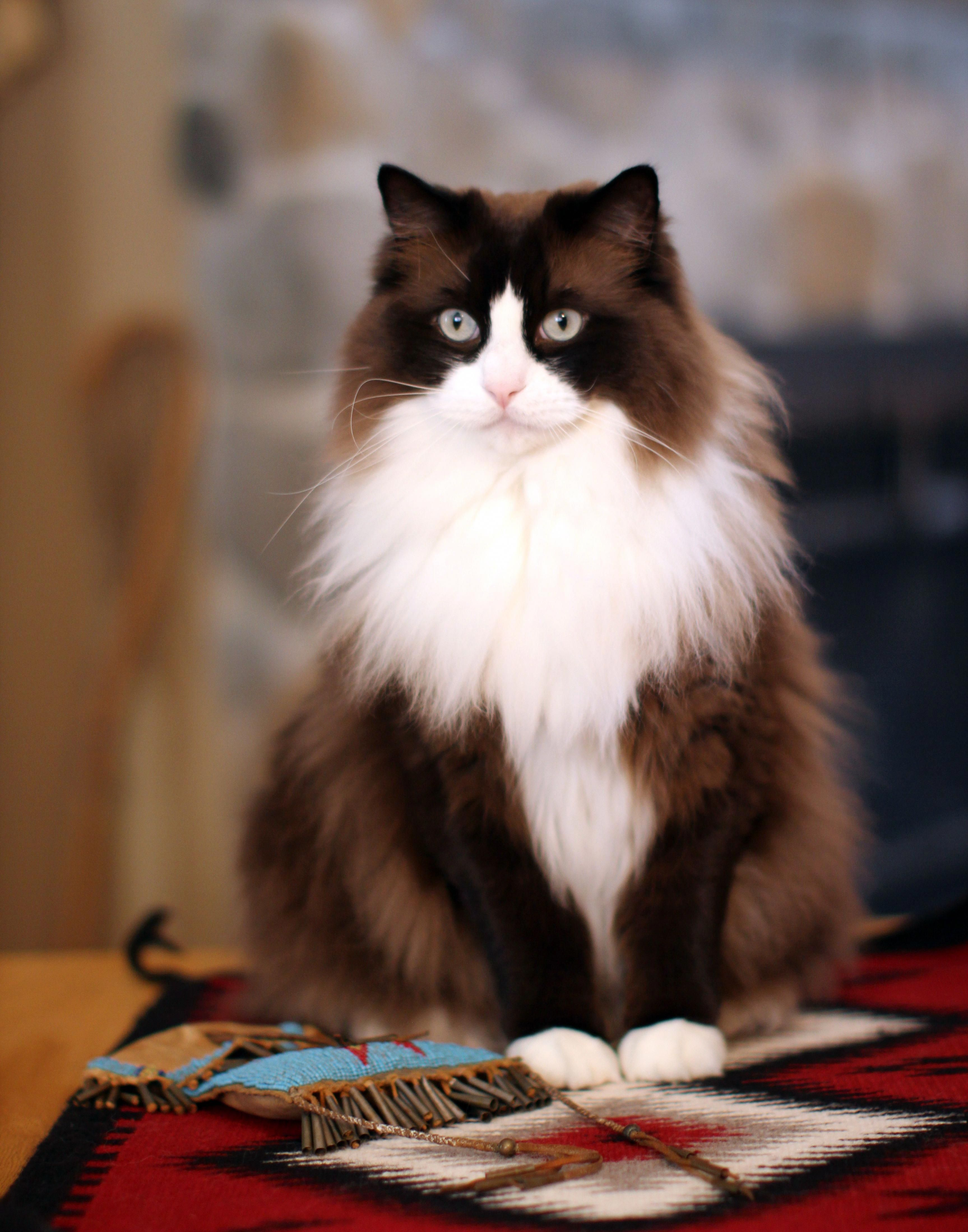 Mingo Is My Beautiful Mink Colored Ragdoll Boy He Has A Gorgeous Brown And White Coat And Big Beautiful Turquoise Colored Eyes Pretty Cats Kittens Cute Cats