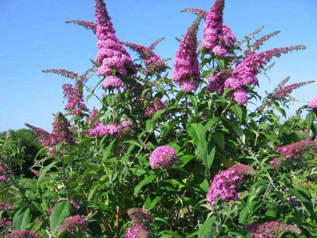 vlinderstruik paars   Google zoeken   Bloemen planten   Pinterest   Vlinderstruik, Paars en Zoeken