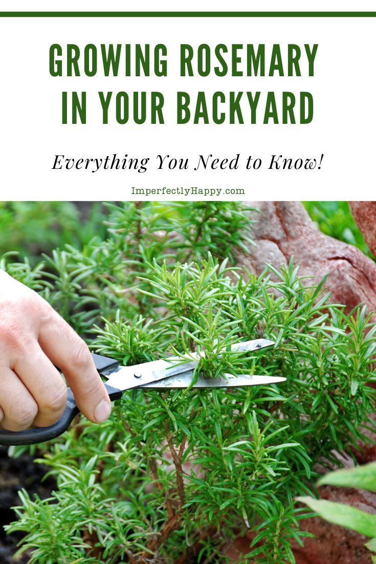 Everything You Need to Know About Growing Rosemary is part of Growing rosemary, Kitchen herbs, Herbs, Herb garden design, Diy herb garden, Growing herbs - Growing rosemary is a wonderful way to have this aromatic herb available anytime  Fairly easy to grow, harvest and propagate