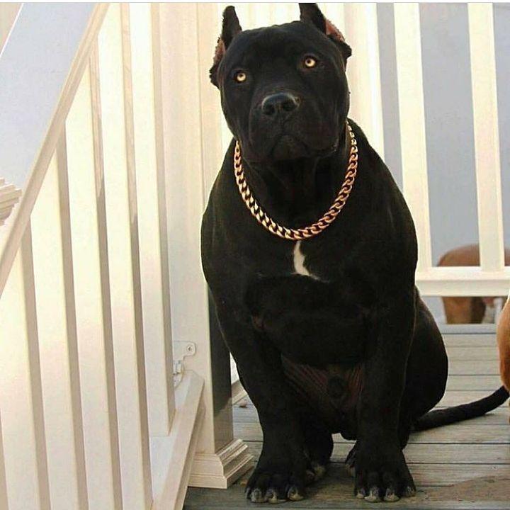 Instagram Silly Dogs Black Pitbull Big Dogs