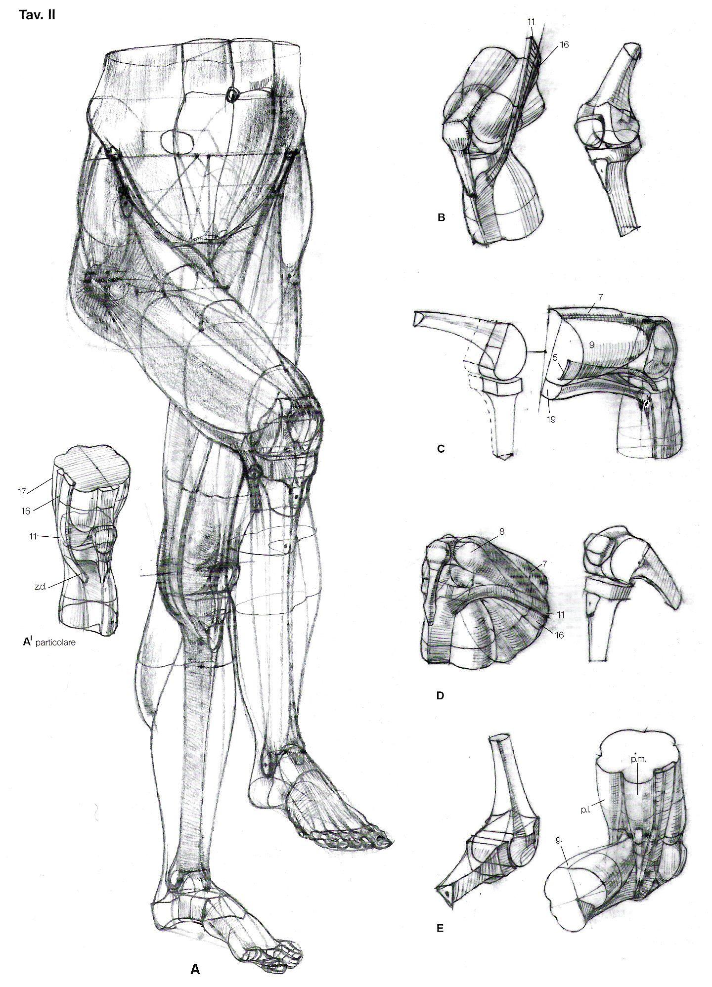 Rodilla | FIGURA HUMANA | Pinterest | Anatomía, Dibujo y Figuras humanas