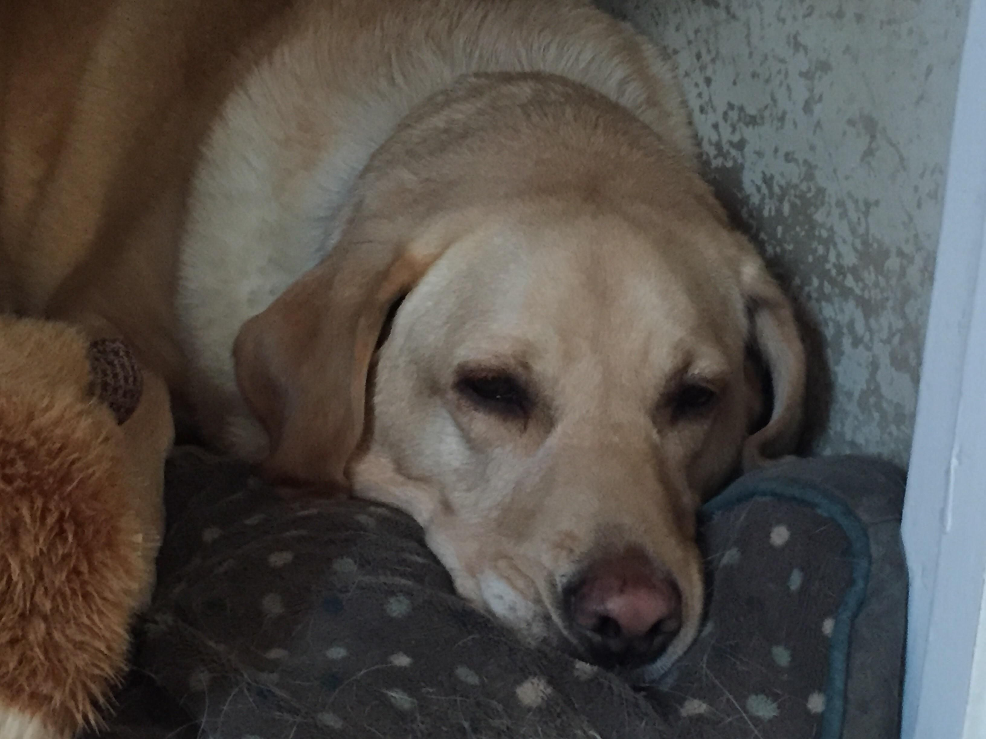 Reddit Meet Nessa A 4 Year Old Golden Labrador From Wales Cats