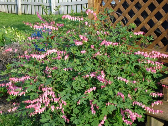 Bush Bleeding Heart 1 2 Ft Tall Blooms In Spring Plant In Full Shade Attracts Bees Butterflies Bleeding Heart Plants Spring Plants