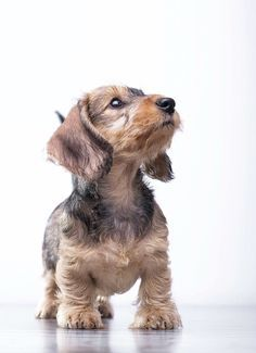 Wire Haired Dachshund Image By Ginger Kress On We Might Need A