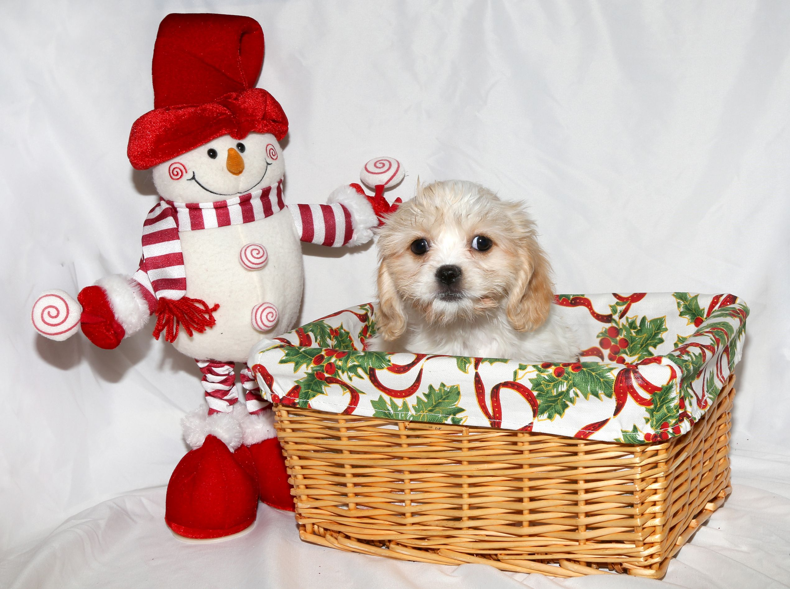 Cava Tzu Puppy For Christmas Puppies For Sale Puppy Love Puppies