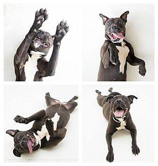 American Staffordshire Terrier Labrador Retriever Mix Dog For