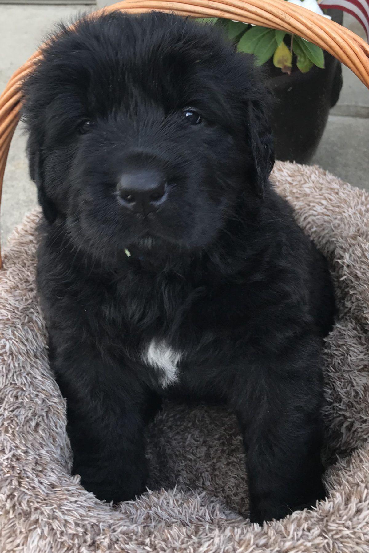 Newfoundland pup for sale in Davison, Michigan