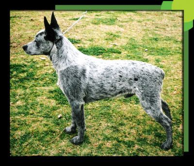 Empirebay Australian Stumpy Tail Cattle Dogs Blue Heeler Dogs Austrailian Cattle Dog Beautiful Dog Breeds