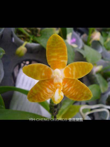蝴蝶蘭 Phalaenopsis