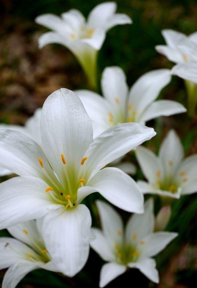 Atamasco lilies