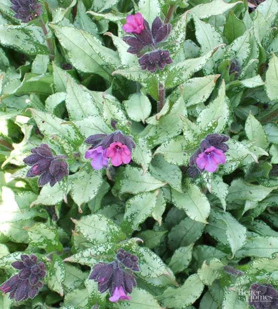 Tough perennials that grow in dry shade pinterest shade flowers another shade loving plant that tolerates dry soil is lungwort mightylinksfo