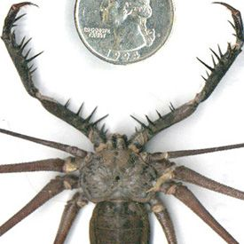 tailess cave whip scorption amblypygid peru this insect has an incredible leg span of 22. Black Bedroom Furniture Sets. Home Design Ideas