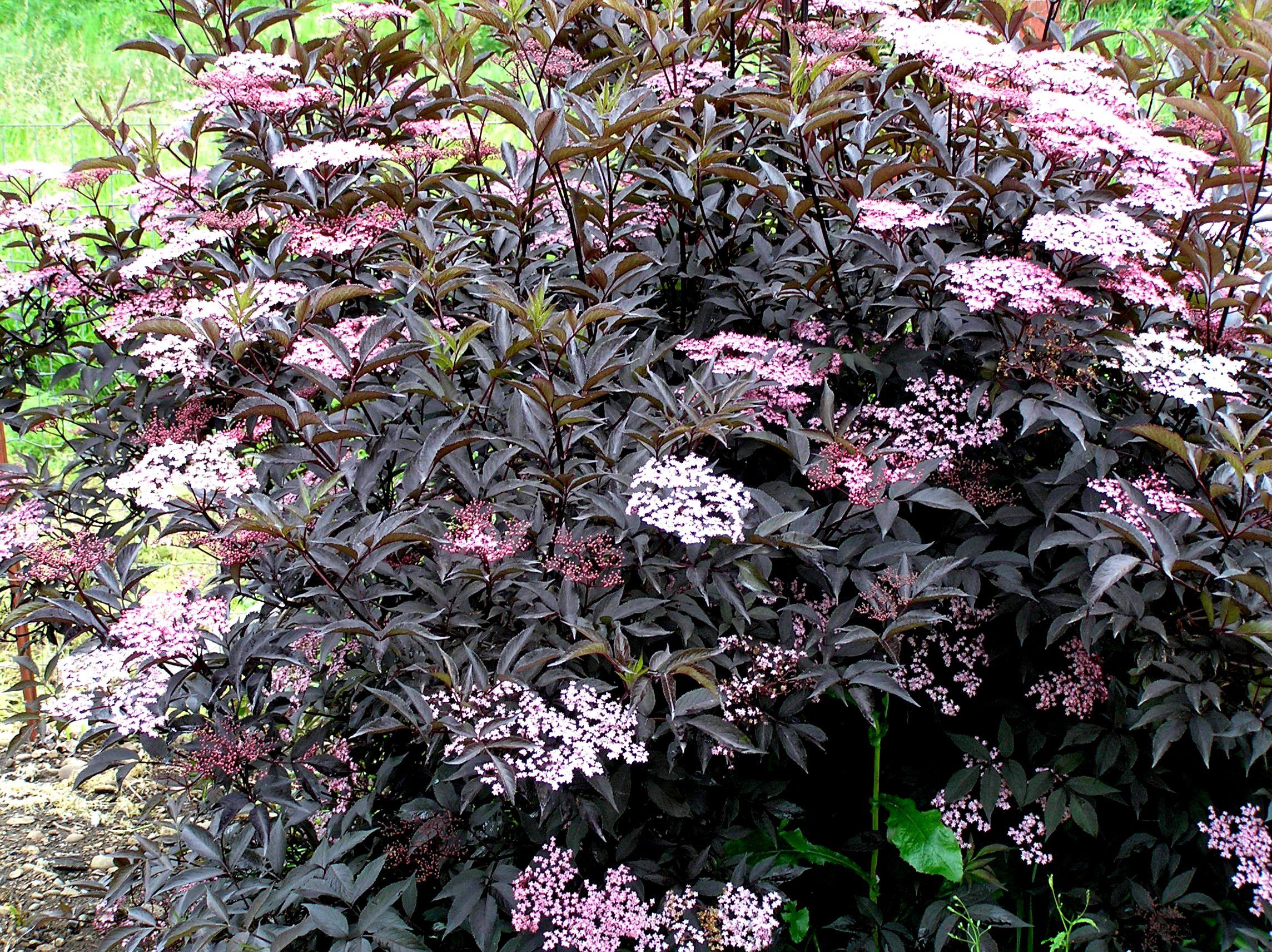 Sambucus Black Beauty (Elderberry)  Edible Flowers And Berries