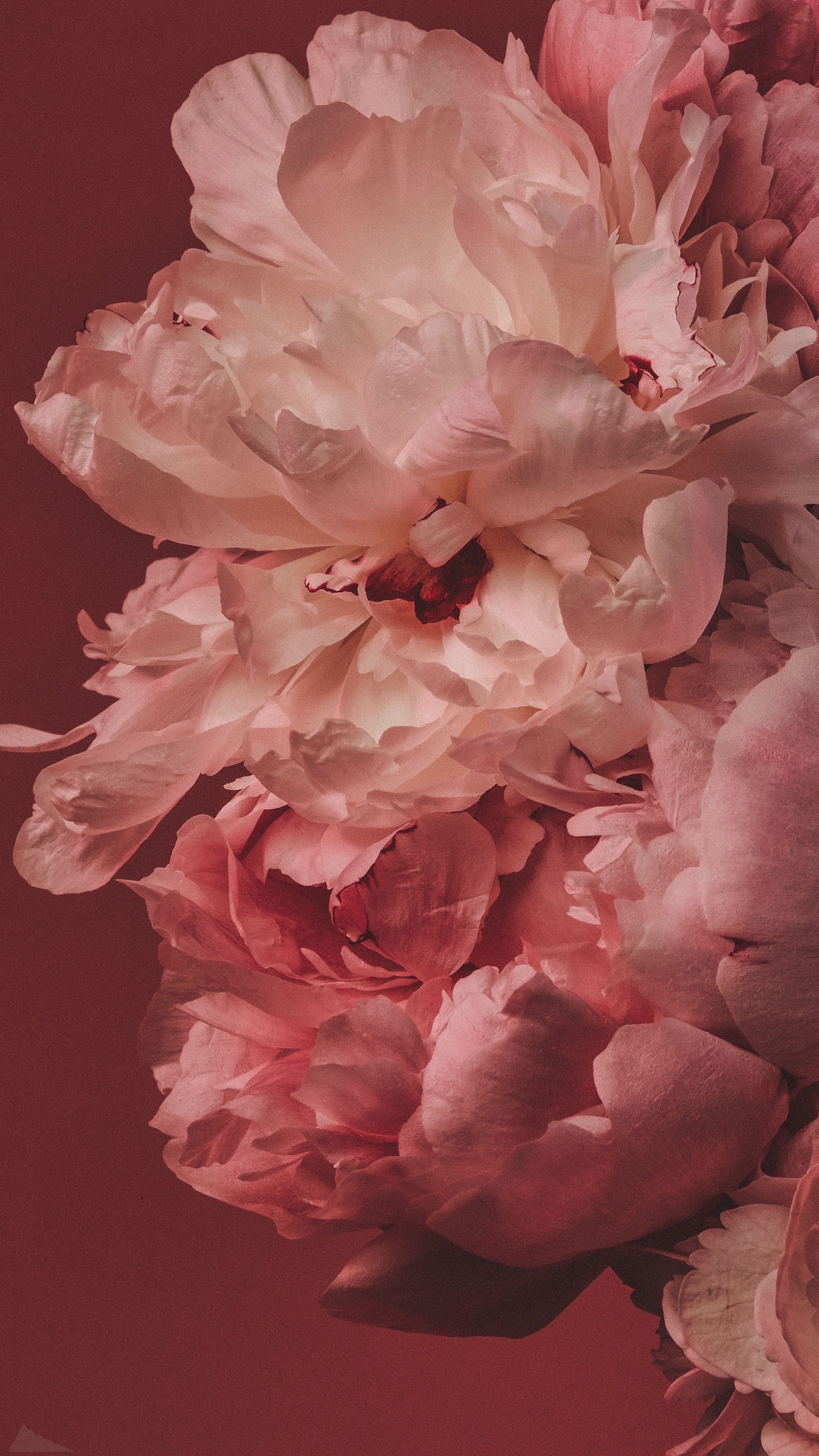 Photo of обои | цветы | пионы | wallpaper | flowers | peonies