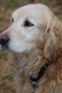 Casper Adoption Pending Golden Retriever Puppies And Kitties