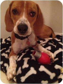 Bennie Is A Beagle Dachshund Mix In Mansfield Tx Dfw Beagle