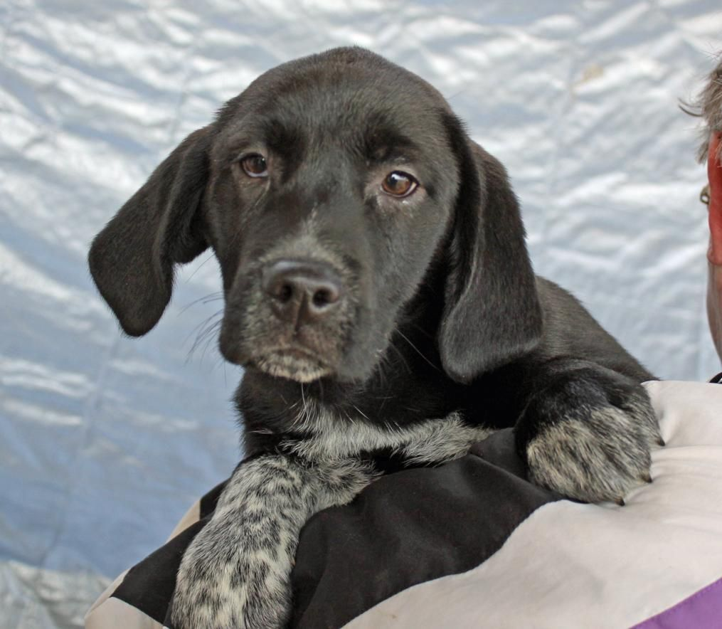 Kate AA is an adoptable Labrador Retriever searching for a forever family near Manchester, NH. Use Petfinder to find adoptable pets in your area.