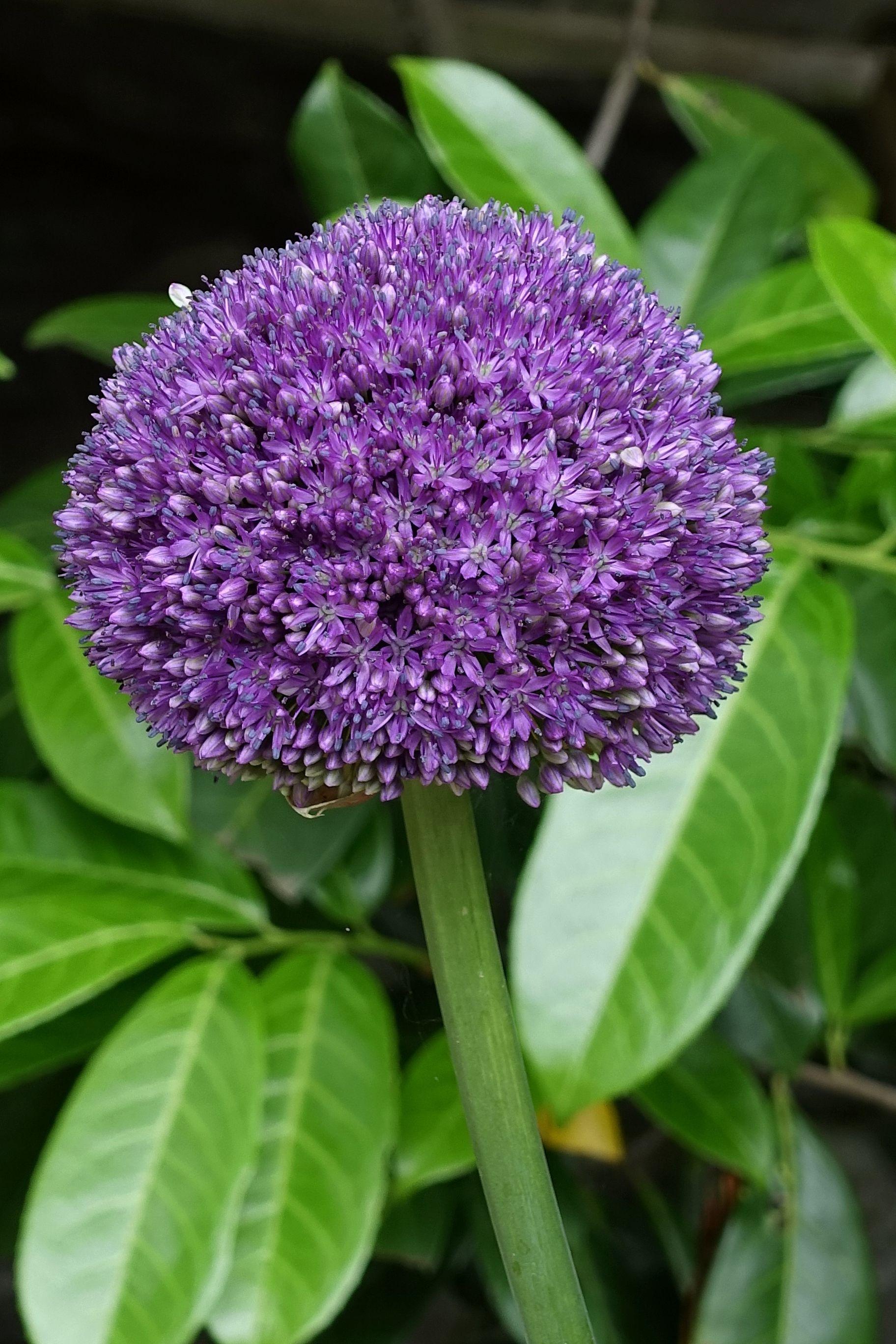 Allium En 2020 Jardins Instagram