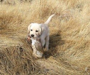 Labador Retriever Hunting Wallpaper Hunting Dogs