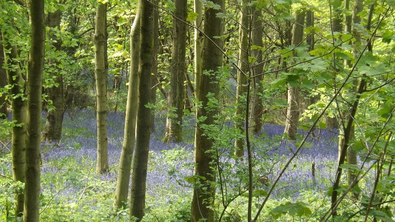 Bluebells in the Clent Hills - West Midlands