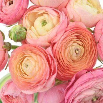 Peach Watermelon Wholesale Ranunculus Flowers Fiftyflowers Ranunculus Flowers Wholesale Flowers Ranunculus Centerpiece