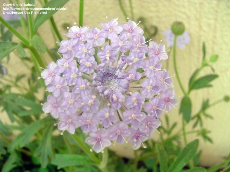 Didiscus Caeruleus Flowers Lace Flowers Garden