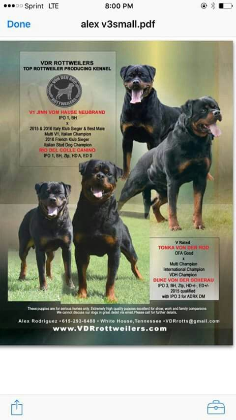 Pin By House Of Yahudah Fashion And Book Store On Rottweiler Lover
