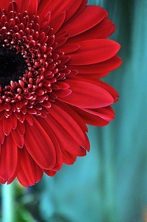 Red Gerber Daisy Flower Photograph Aqua Teal Red Fine Art | Etsy