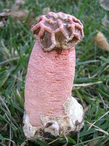 Cock mushroom shaped