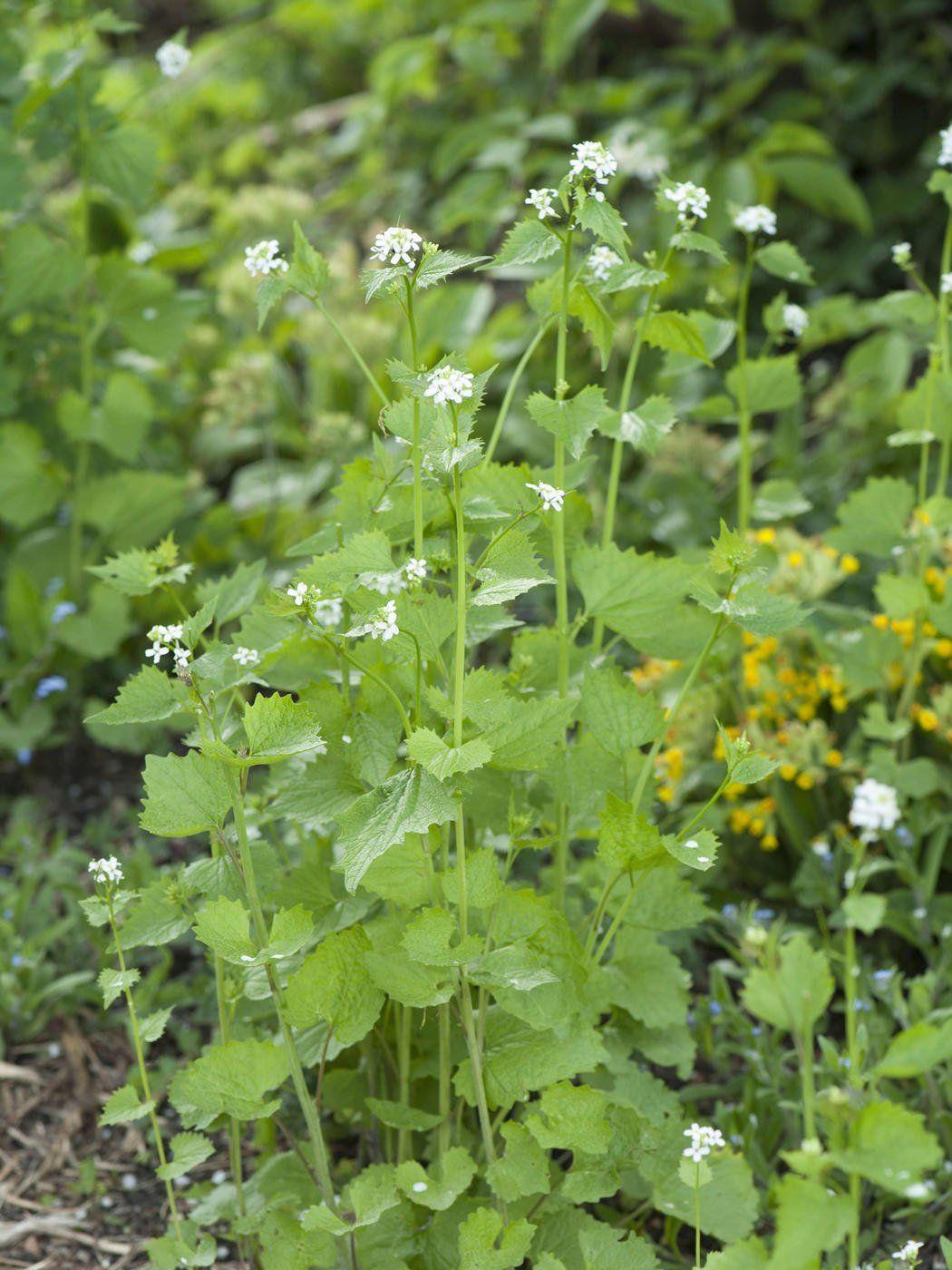 Heilpflanze Knoblauchsrauke Knoblauchsrauke Pflanzen Krauterpflanzen