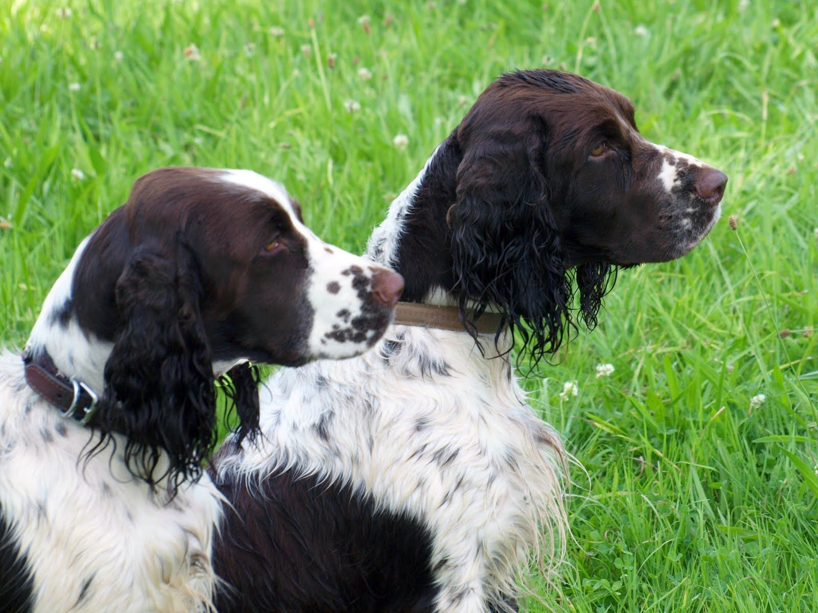 springers in the field English springer spaniel, English