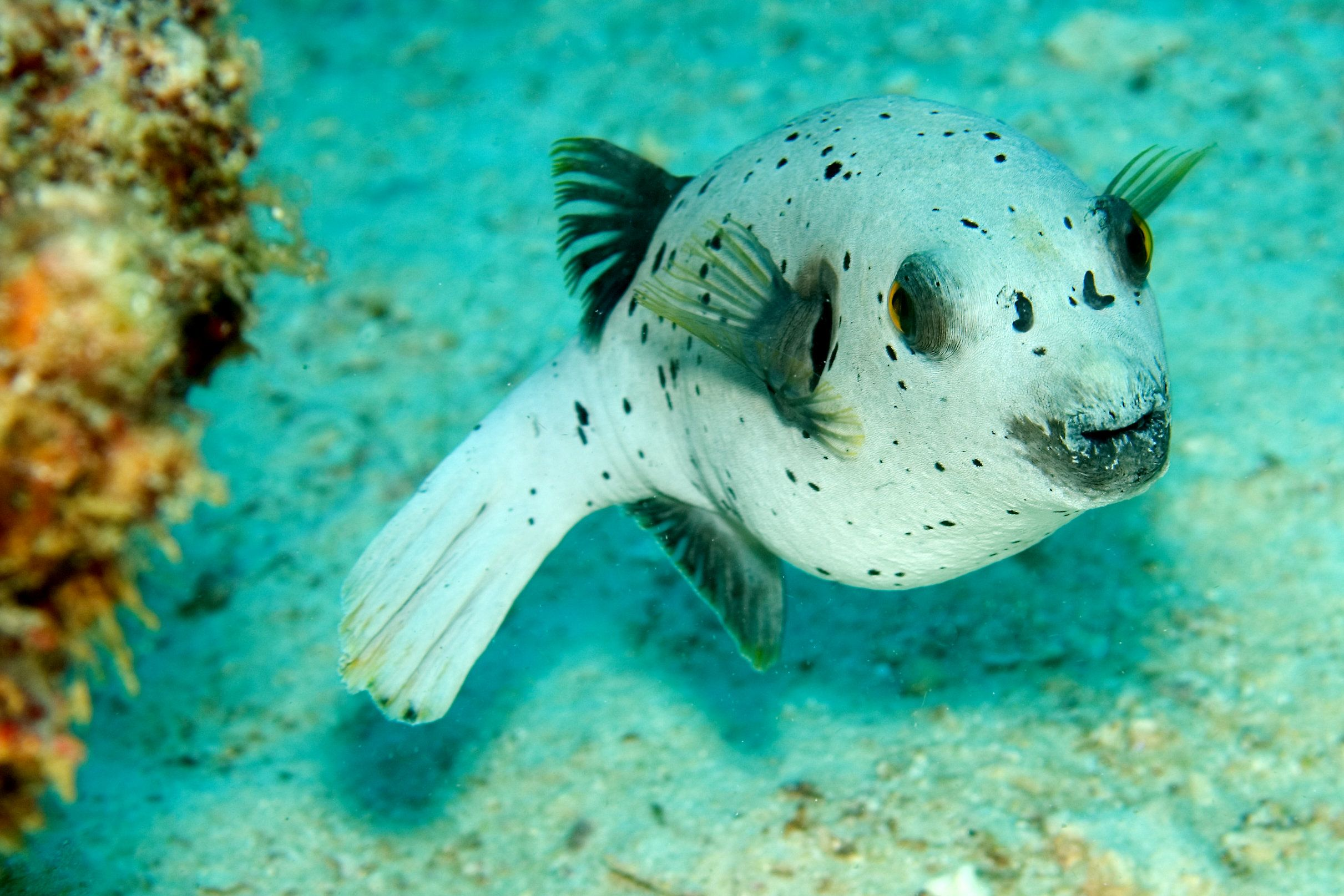 Seal Faced Puffer Fish