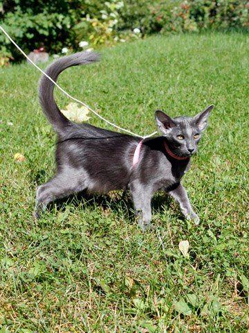 Fi Crimsonette S Blue Heart Blue Oriental Longhair Oriental Shorthair Cats Bicolor Cat Oriental Shorthair