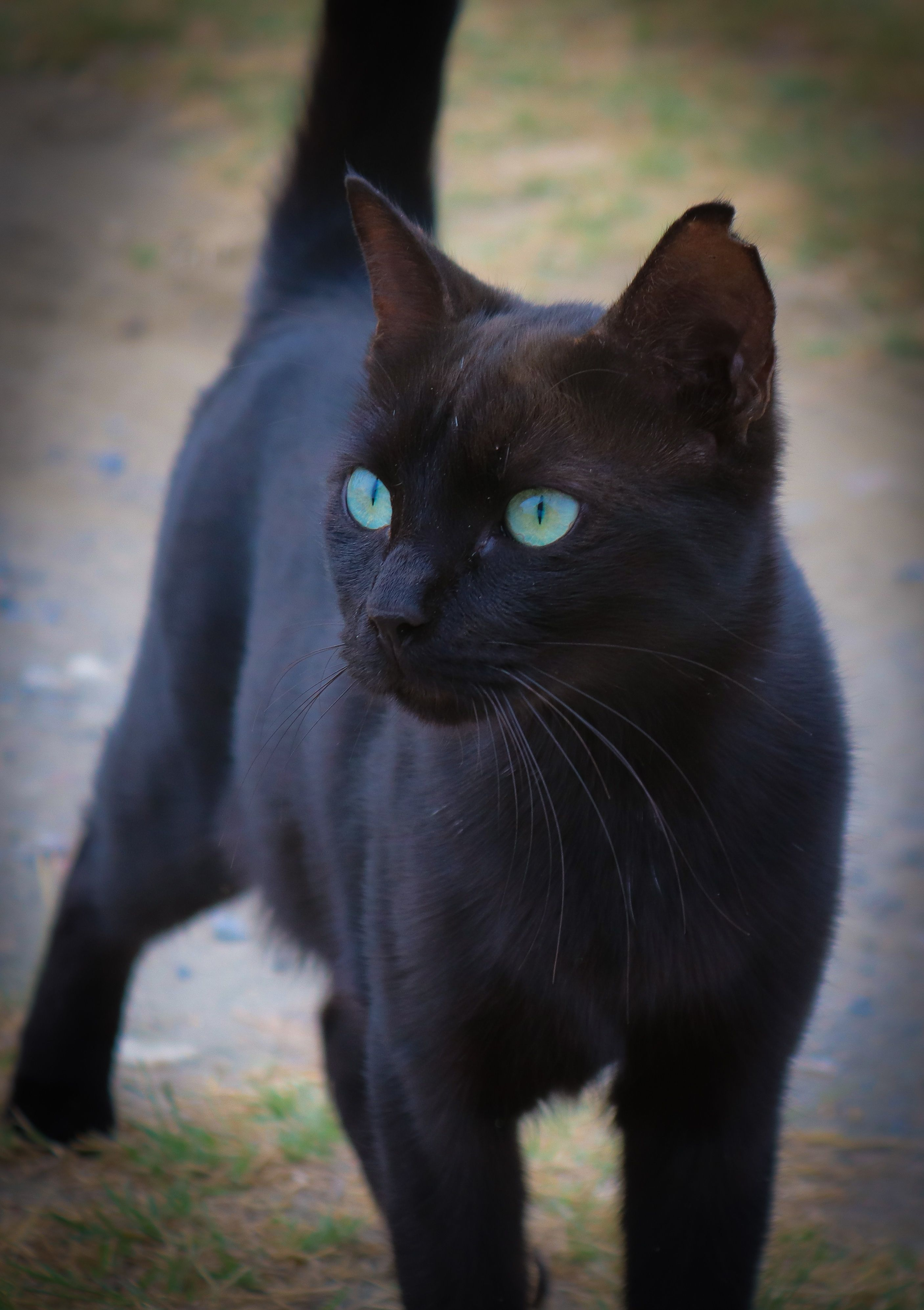 looking like a little Panther Cat with blue eyes, Baby