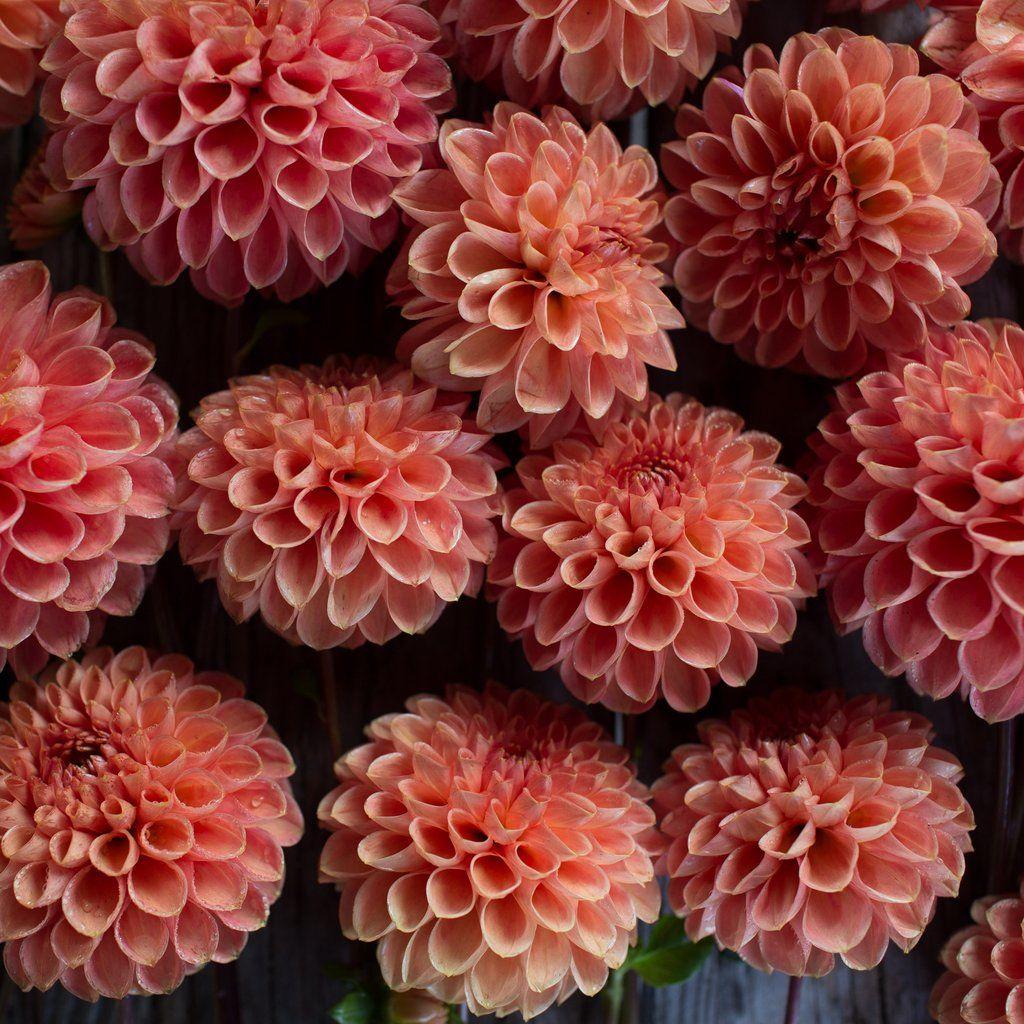 Dahlia Jomanda Dahlia Flower Types And Flowers