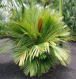 Calyptrocalyx Stenoschista Florida