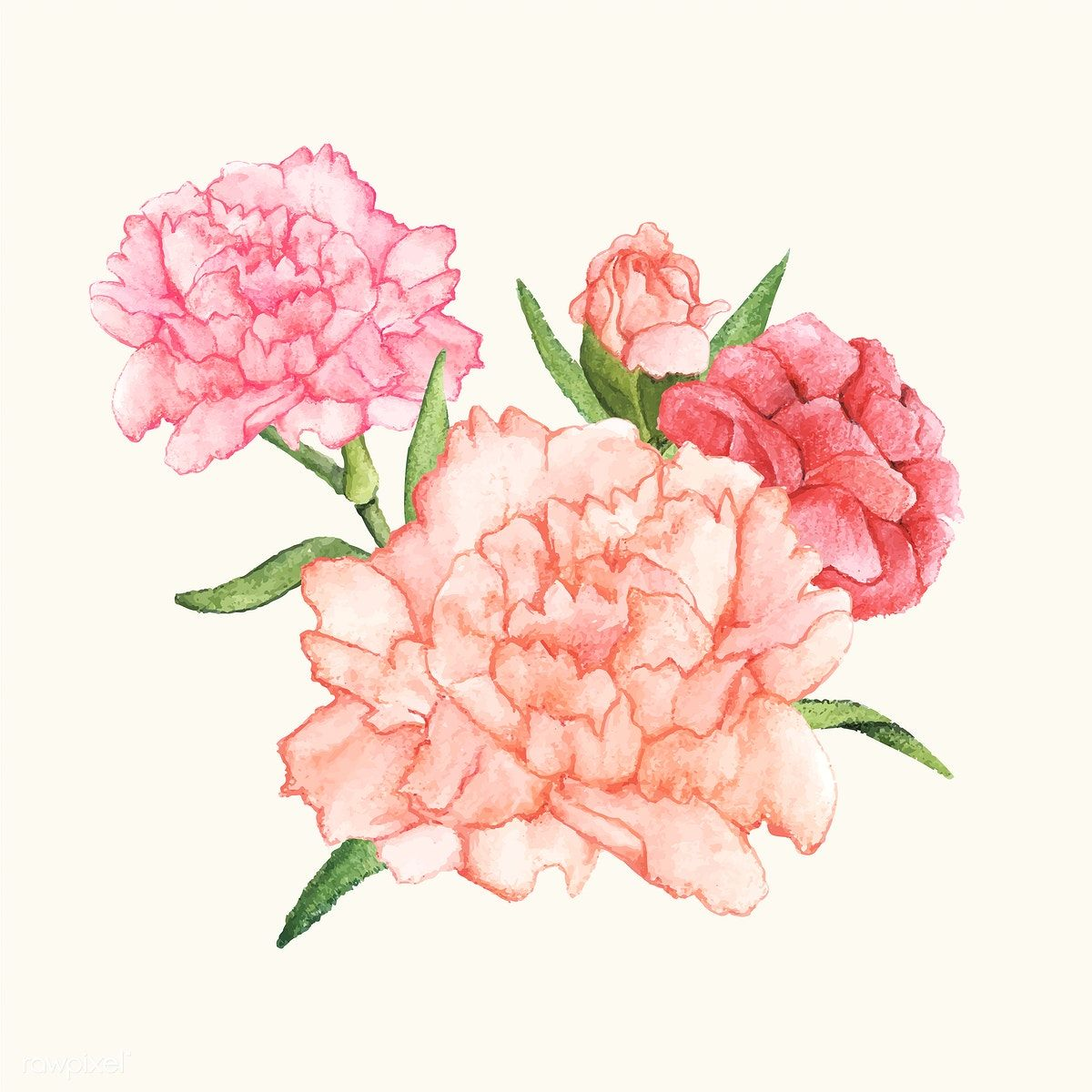 Hand drawn carnation flower isolated free image by