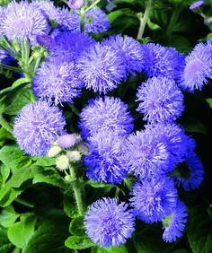 Ageratum – The bedding flower Ageratum is known to produce several small flowers that appear fuzzy. These flowers contain coumarin that keeps mosquitoes away. It is also used as a major ingredient in several mosquito repellents
