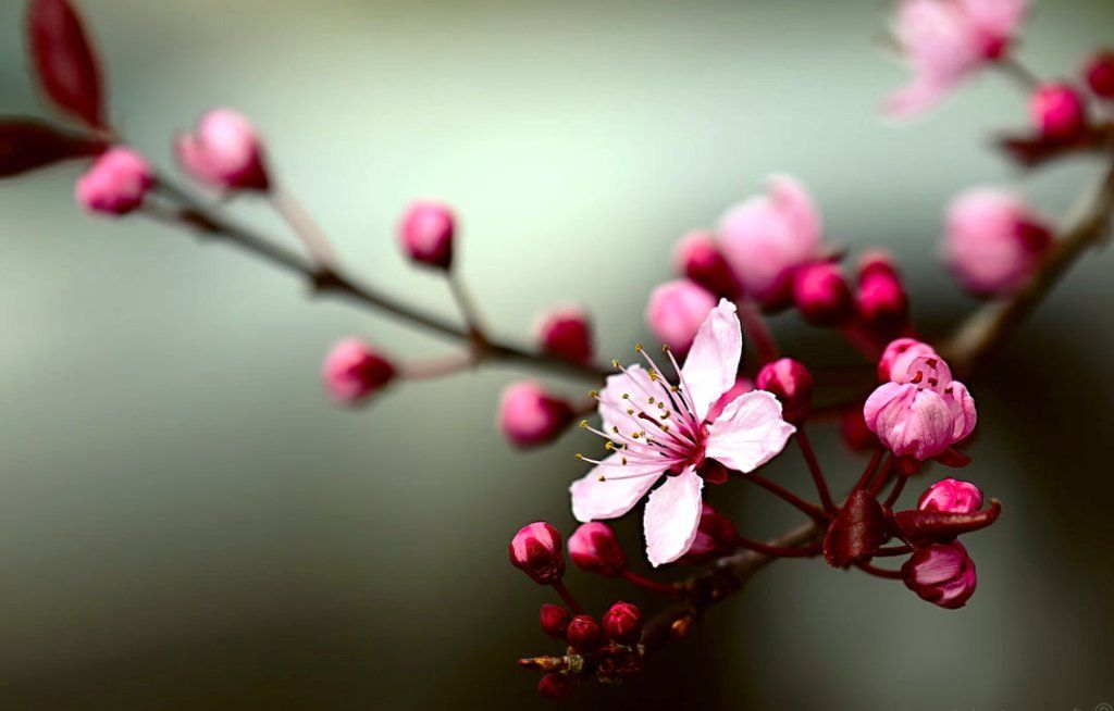 Gambar Bunga Sakura Sedang Mekar Flower Pinterest Wow Products