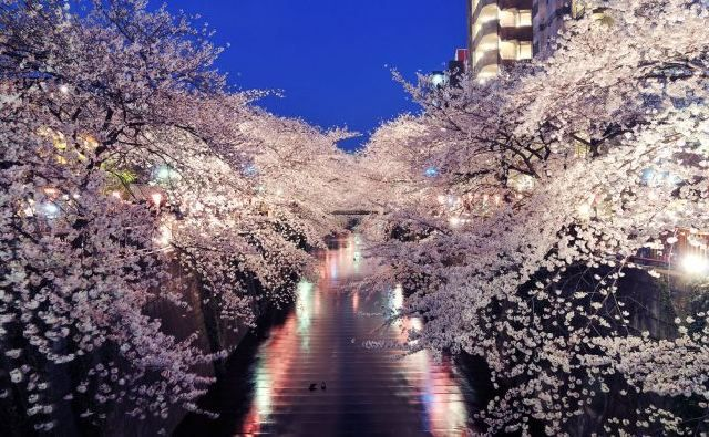 To Go To Japan During The Hanami Festival And See The Cherry Blossoms So Beautifull Hanami Sakura Cherry Blossom Cherry Blossom