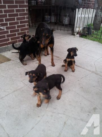 German Shepherd And Doberman Mix Puppy Stuff For Sale In