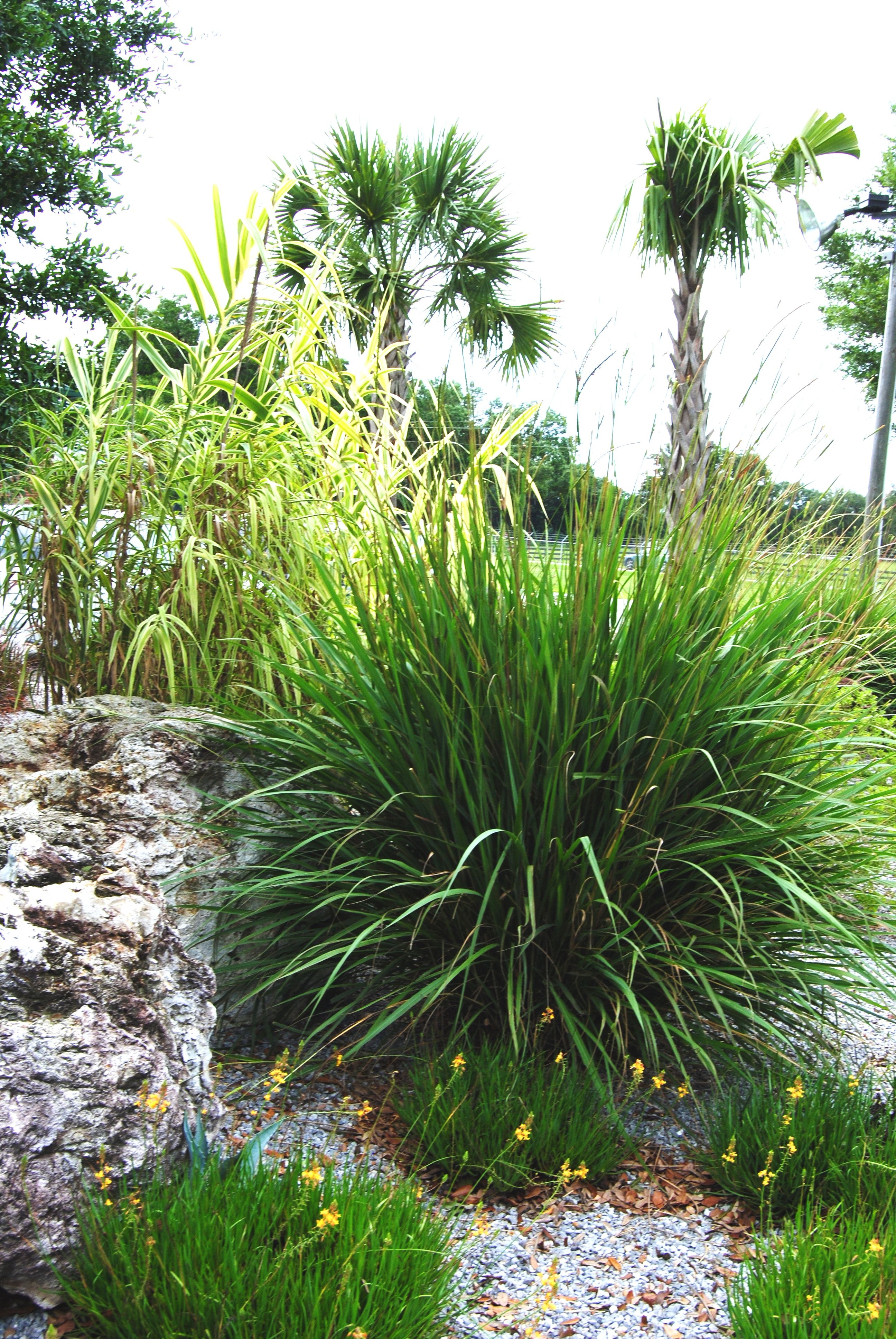 Miniature ornamental grasses - Fakahatchee Grass Giant Cane And Dianella Located At Plant Science Research Unit In